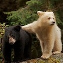 Using #SocialMedia to #Promote #Awareness for a Good Cause #Canada's #GreatBear #Rainforest | Rescue our Ocean's & it's species from Man's Pollution! | Scoop.it