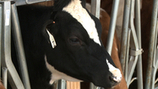 Struggling Dairy Farmers Calling it Quits - WNEP-TV | Local Economy in Action | Scoop.it
