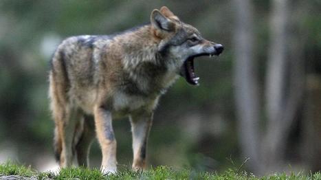 Un maire des Hautes-Alpes déclare de son propre chef la chasse au loup | CRAKKS | Scoop.it