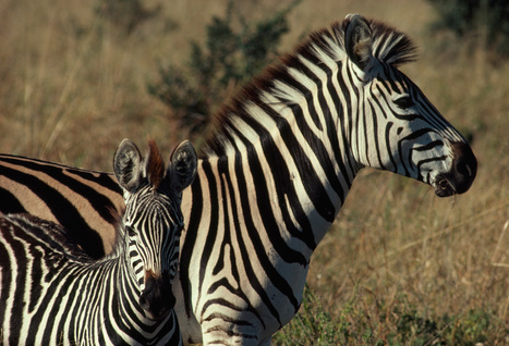 Crime Blotter: Zebra Meat, Leopard Skins, and More | Biodiversity protection | Scoop.it