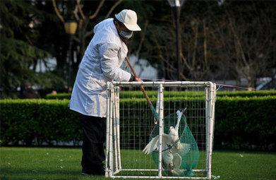 Flu Genes Linked to South Korean, Chinese Birds - | Food issues | Scoop.it