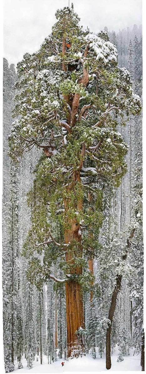 Gigantesco árbol de 3200 años capturado en una sola imagen. Impresionante! | Agua | Scoop.it