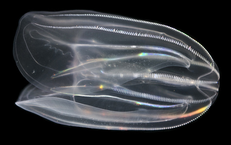 Comb Jelly Genome Sheds Light on Light | Amazing Science | Scoop.it