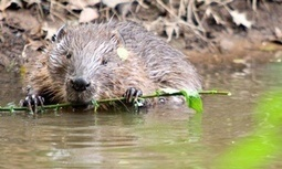 Beavers are back – and we should welcome them with open arms - The Guardian | wildlife | Scoop.it