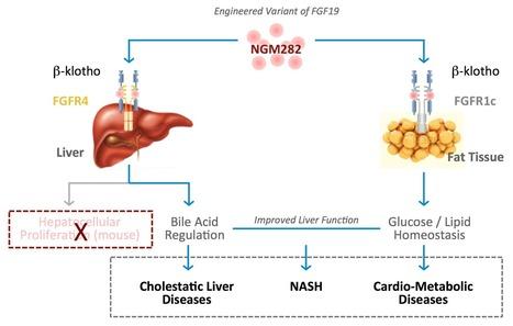 NGM282 | Primary Sclerosing Cholangitis | Non-alcoholic Steatohepatitis | NGM Bio | Hepatitis C New Drugs Review | Scoop.it