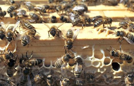 Les agronomes pourraient mieux défendre les abeilles | Les colocs du jardin | Scoop.it