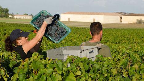 Vin - Au Château Montrose dans le Médoc, on vendange bio pour la première fois | Le Vin en Grand - Vivez en Grand ! www.vinengrand.com | Scoop.it