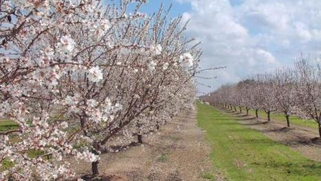 California almonds perched at top of global market | Tree Nuts content from Western Farm Press | Global competitiveness | Scoop.it