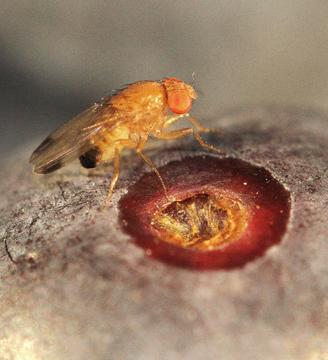 Suisse. Agroscope surveille le ravageur Drosophila suzukii | EntomoNews | Scoop.it
