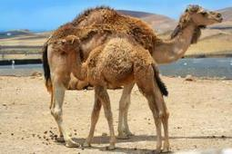 WHO: Several recent MERS patients drank camel milk | MERS-CoV | Scoop.it