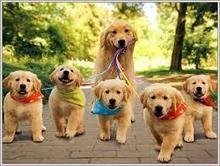 Solutions Essential In Choosing Golden Retriever Breeder | Florida Golden Retriever puppies for sale | Scoop.it
