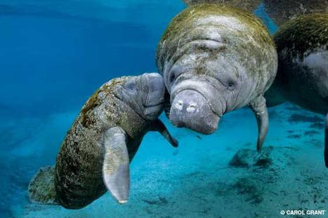 Alert Diver   Little Orphan Manatee   Indigo Scuba   Scoop.it