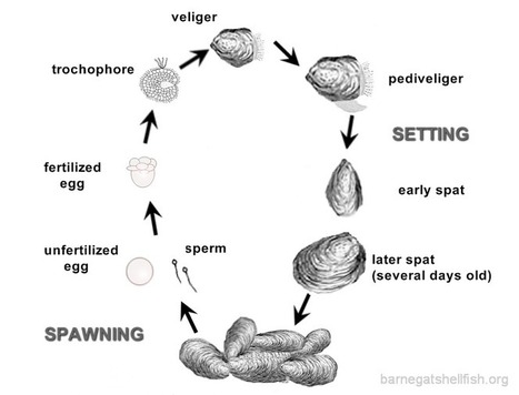 Eastern Oyster-lifecycle | OI Newsletter - A web family | Scoop.it