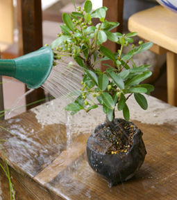 How to Make Bonsai | Gardening and backyard projects | Scoop.it