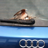 Dove Lays Eggs On Guy's Car, He's Totally Sweet About It | Compassion in Action | Scoop.it