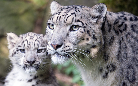 Skiers have surprise encounter with endangered 'snow leopard' | Endangered Wildlife | Scoop.it