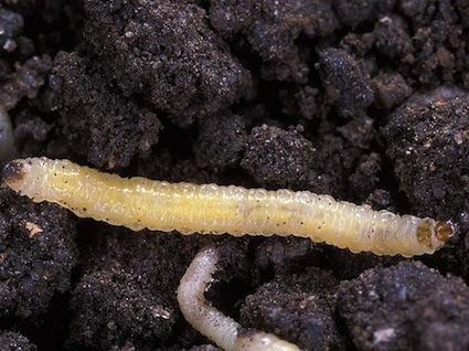 Superinsects Are Thriving in This Summer's Drought | Vertical Farm - Food Factory | Scoop.it
