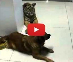 Tiger cub wants a drink of dog's water, dog says No twice | animals and prosocial capacities | Scoop.it