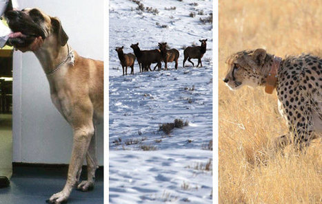 Top Stories: Big Dogs, Big Cats, and the Future of Gene Patenting | Agua | Scoop.it