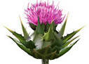 Milk thistle extract shown to halt lung cancer progression in its tracks | Health Tips 180 | Scoop.it