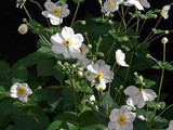 Great Design Plant: Japanese Anemone | Japanese Gardens | Scoop.it