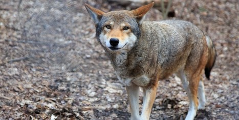 Fate of World's Last 45 Red Wolves Hangs in the Balance | Our Evolving Earth | Scoop.it