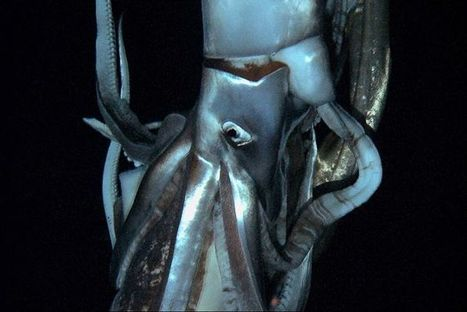 Giant squid filmed in Pacific depths - ABC News (Australian Broadcasting Corporation) | All about water, the oceans, environmental issues | Scoop.it
