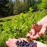 Blueberry Hills Farm & Nursery