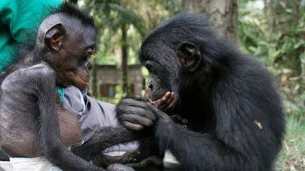 What Bonobos Can Teach Us | Empathy in other animals | Scoop.it