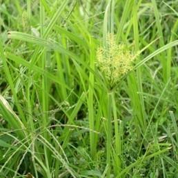 Cyperus esculentus (Souchet comestible) Plant - Alsagarden, Graines & Plantes Rares | Jardinerie Alsagarden | Scoop.it