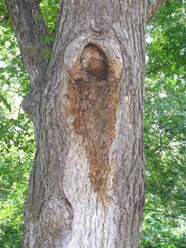 Top Ten Tree Diseases in North America | Forest health | Scoop.it