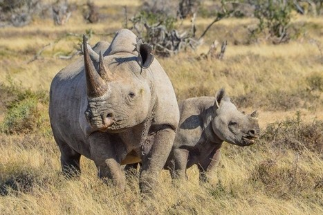 Diamond giant raises awareness to protect world's rhinos | New York News | Rhino Poaching & Wildlife Crime | Scoop.it