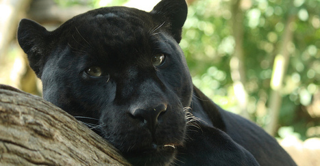Renewal for the Earth During The Time of the Black Jaguar | Our Evolving Earth | Scoop.it