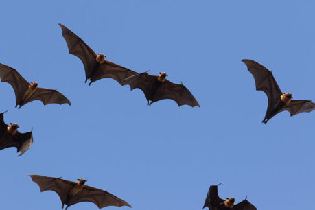 How bats recognize their own 'bat signals': Researcher discovers unique mechanism bats use to overcome communication interference in the wild | Bat Biology and Ecology | Scoop.it