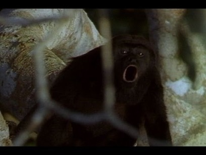 World's loudest animals: Howler monkeys | Topics of my interest | Scoop.it