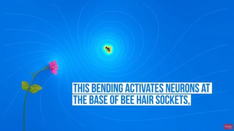 Le bourdon est attiré par le champ électrique des fleurs | EntomoScience | Scoop.it