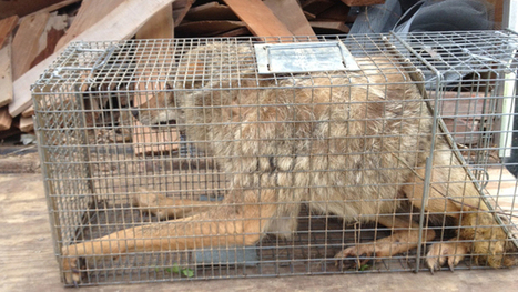 Here's photographic evidence we obtained of a coyote suffering behind the scenes at Animal Planet | Animal Rights | Scoop.it