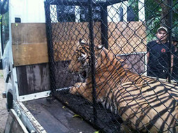 Bangkok slaughterhouse raid leads to major trafficking centre | Wildlife News | Wildlife Trafficking: Who Does it? Allows it? | Scoop.it