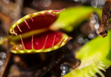 Venus Flytraps Risk Extinction in the Wild at the Hands of Poachers | Amazing Science | Scoop.it