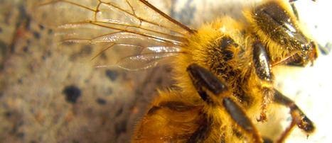 Pilot Study Finds Plants Sold As 'Bee Friendly' Pretreated With Pesticides | EcoWatch | Scoop.it