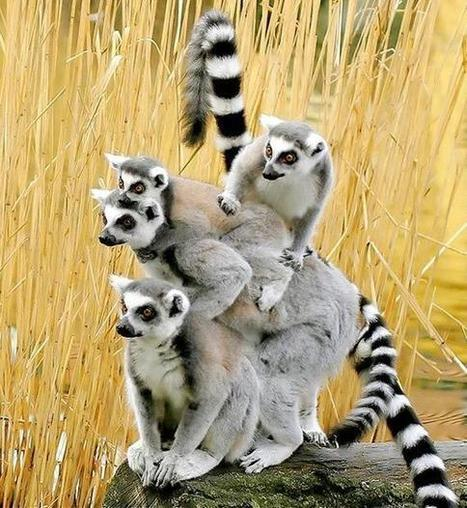 Twitter / MostAmazingIMGs: Ring-tailed lemurs ... | Ring Tailed Lemurs | Scoop.it