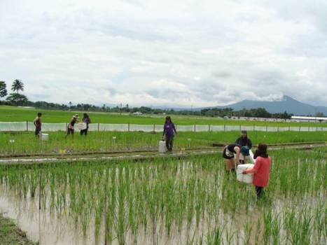 In Brief. Field of genes: Uncovering EGRINs (Environmental Gene Regulatory Influence Networks) in Rice that Function During High-temperature and Drought Stress | SEED DEV LAB Biblio | Scoop.it