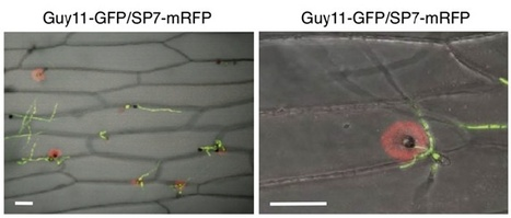 A Secreted Fungal Effector of Glomus intraradices Promotes Symbiotic Biotrophy. Current Biology (2011) | Host Translocation of Plant Pathogen Effectors | Scoop.it