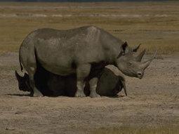 Rhino poaching set to break 1000 this year | Poaching & Wildlife Crime | Scoop.it