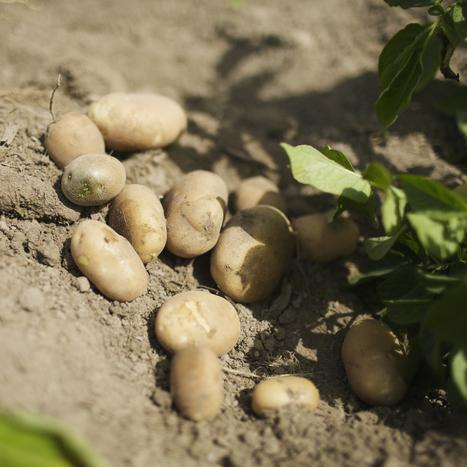 Le groupe BASF demande l'accord de l'UE pour cultiver une pomme de terre OGM | Union Européenne, une construction dans la tourmente | Scoop.it