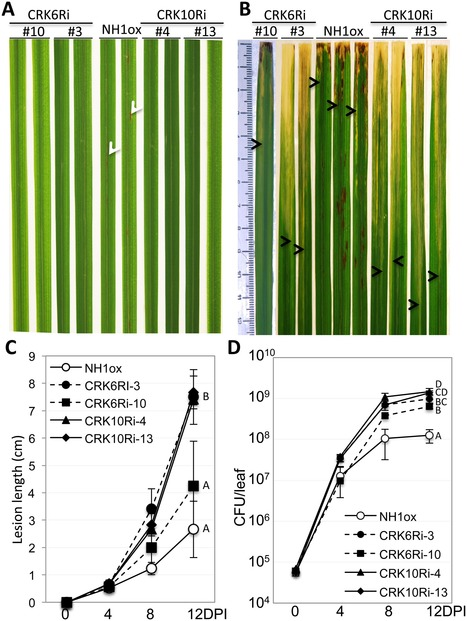 A Genetic Screen Identifies a Requirement for Cysteine-Rich–Receptor-Like Kinases in Rice NH1 (OsNPR1)-Mediated Immunity | Rice Blast | Scoop.it