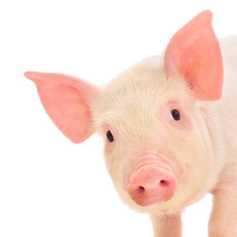 Humanized pig organs to revolutionize transplantation | KurzweilAI | Health Medicine N'Science | Scoop.it