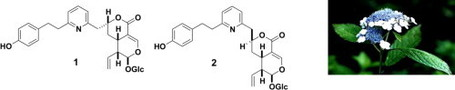 Hydrangeamines A and B, novel polyketide-type pseudoalkaloid-coupled secoiridoid glycosides from the flowers of Hydrangea macrophylla var. thunbergii | Wiki_Universe | Scoop.it