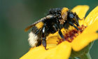 Pesticides put bumblebee colonies at risk of failure, study finds | BBSRC News Coverage | Scoop.it
