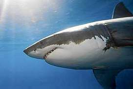 Shark cull: 80% of Australians opposed, poll finds | All about water, the oceans, environmental issues | Scoop.it